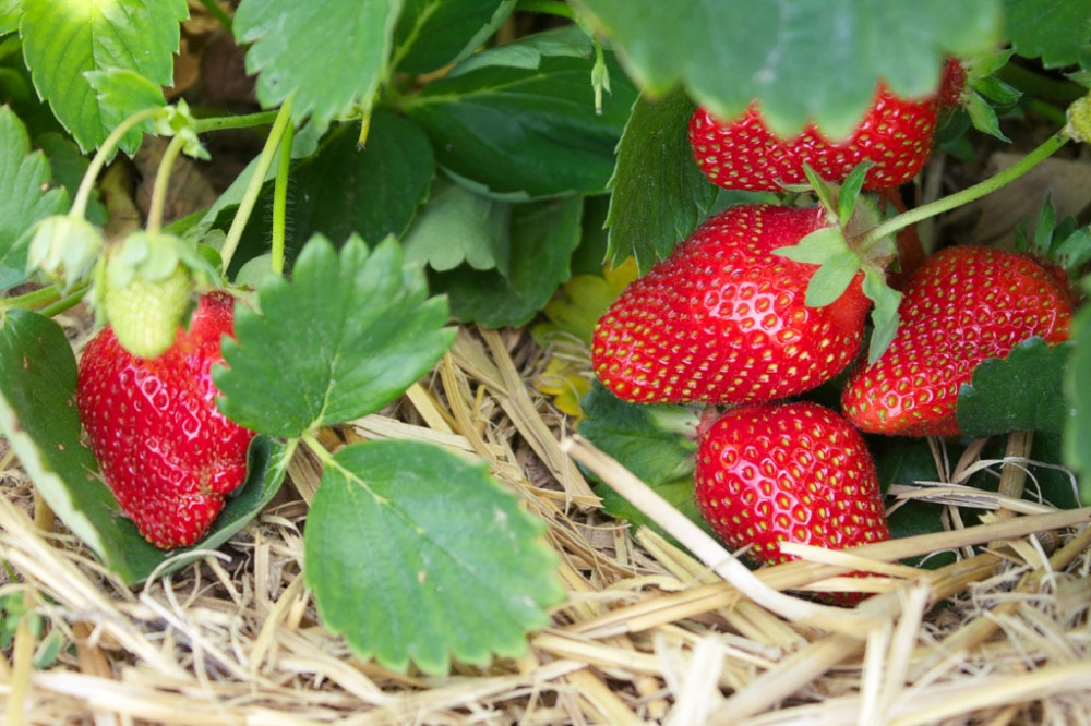 iStock-strawberries-closeup-web
